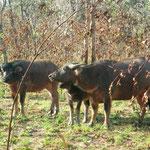 Australische Wasserbüffel
