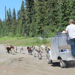 12 Hunde ziehen ein Cart
