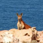 das westlichste Kangaroo Australiens