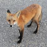 Von Touristen gefütterte Tiere kommen sehr nahe und vergseesn leider das sie jagen müssen um den Winter überleben...