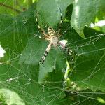 Wie kann diese wundervolle und sehr große Spinne wohl heißen?