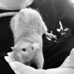 Rattus Rats Juno
