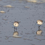 becasseau de Sanderling