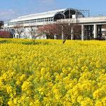 1-1-8.川和町駅と菜の花畑