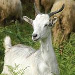 Kalabrien Wandern ab Tropea, auf den Spuren der Schafe