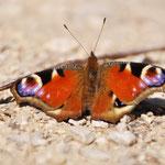 Schmetterling in der Nähe des Gasthaus Kienklause (© Goran Lipotanovic)
