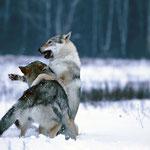 Волф и Асти.
