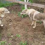 Грейт с подругой  Кавказской волчицей Алитой