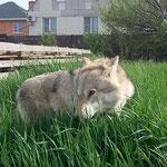 волчица Алита 6 лет.