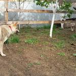 Грейт 10 мес. и волчица Алита 6 лет.