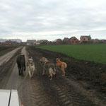Грейт  6 мес. тренируется в полях.
