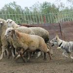 Грейт 2 мес. получила тип 1. Тест пастушьего инстинкта ярко выражен!!!