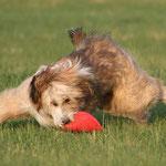 Kiwi spielt Frisbee, Sommer 2008