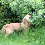 Luna prüft den Reifegrad der Jostabeeren