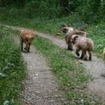 24. Juli: Spaziergang im Helenental: Jucca, Golden Retriever Apollo, Luna und Kiwi