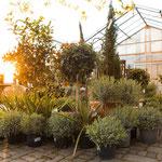 Gartenbaumschule für mediterrane Pflanzen in Würzburg