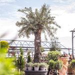 alten Olivenbaum kaufen Würzburg, Franken, Bayern