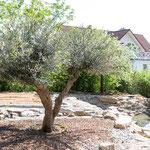 große Olivenbäume kaufen in Würzburg