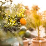 Orangenbäume kaufen Höchberg bei Würzburg