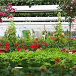 Balkonpflanzen wie z.B. Geranien kaufen für  Höchberg, Würzburg ,Kist, Eisingen, Hettstadt, Waldbrunn, Waldbüttelbrunn, Altertheim, Unterfranken