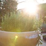 Mediterrane Gehölze für den Garten - Rosmarin