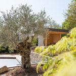 Original italienische Olivenbäume kaufen Höchberg, Würzburg, Waldbrunn, Waldbüttelbrunn, Kist, Eisingen, Hettstadt und gesamt Mainfranken