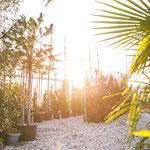 mediterrane Pflanzen wie zum Beispiel Palmen kaufen in Höchberg, Würzburg, Kist, Hettstadt, Eisingen, Waldbrunn, Waldbüttelbrunn