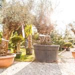 große, alte, knorrige Olivenbäume kaufen in Franken, Unterfranken, Mainfranken, Bayern