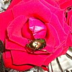Ah, jetzt hat er meine Rose entdeckt