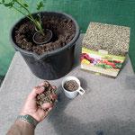200 g Fischguano direkt unter die Pflanze an die Wurzel geben