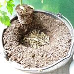 floraPell direkt unter die Pflanze an die Wurzel geben und mit mindestens 5cm Erde bedecken