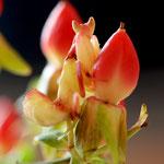 Helvia cardinalis