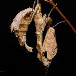 Epaphrodita musarum
