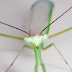Oxyopsis peruviana