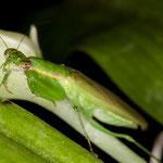 Odontomantis sp. Phetchaburi