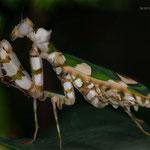 Chlidonoptera lestoni, adultes Weibchen