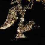 Pseudacanthops lobipes