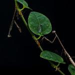 Euchomenella sp.