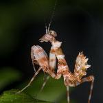 Chlidonoptera lestoni