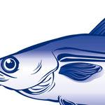 Fischillustration für Costa Tiefkühlkost Thema Warenkunde · Illustration: Nina Rode