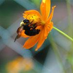 9月。コスモス。マルハナバチは花粉には触れずに蜜だけを取ります。