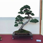 45 Juniperus chinensis - Bonsai Blu
