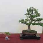 19 Biancospino - Bonsai Club Martesana