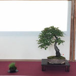 46 Prunus - Bonsai Blu