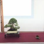 25 Azalea v. Kinsai - Bonsai Club Laudense