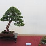 27 Tasso cuspidata - Bonsai Club Laudense