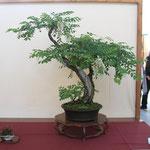 50 Robinia pseudoacacia - Brianza Bonsai