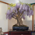 38 Glicine - Bonsai Club Somma