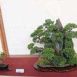 34 Ishizuki con ginepri e pini - Bonsai Club Settelaghi Varese