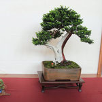 18 Tasso cuspidata - Bonsai Club Martesana